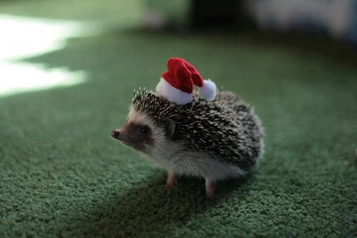 hedgehog-christmas